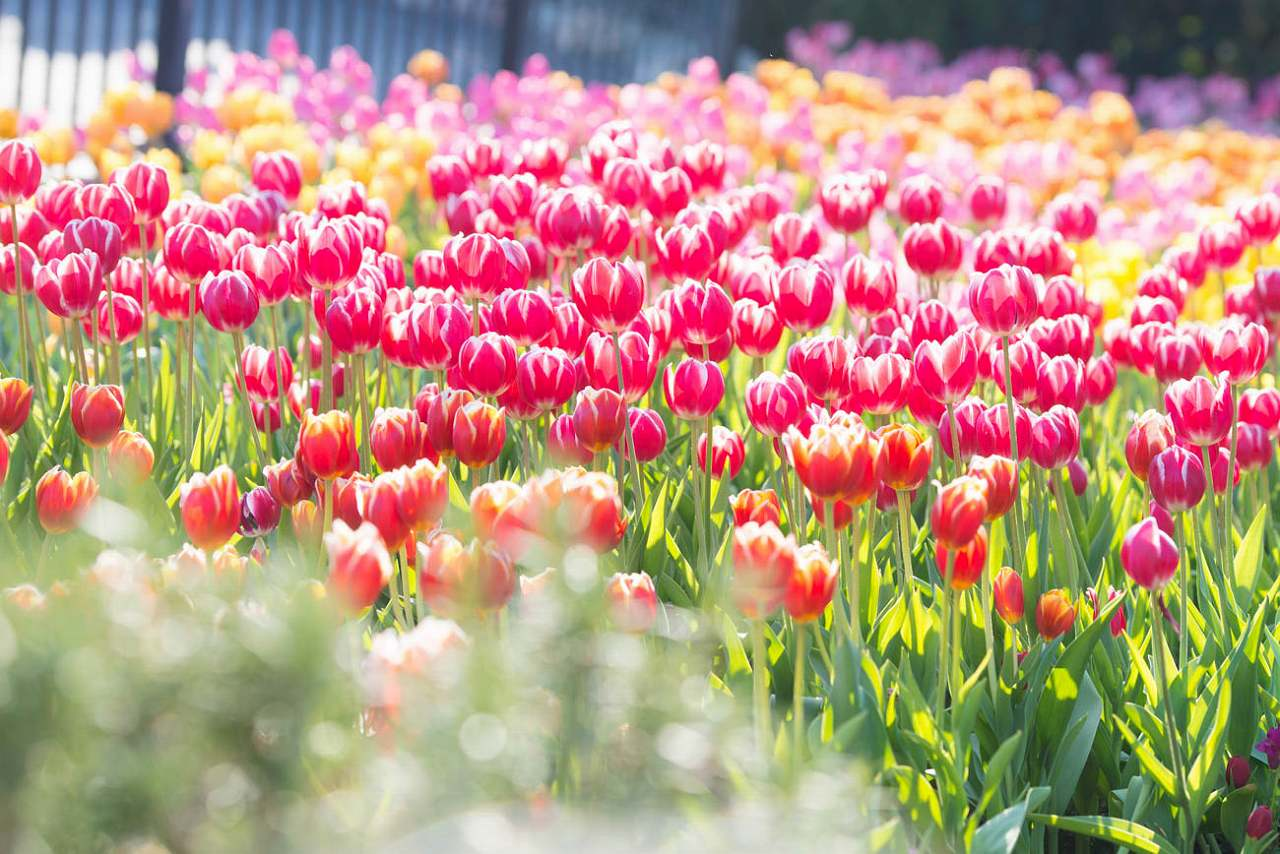 tulip_2015_8