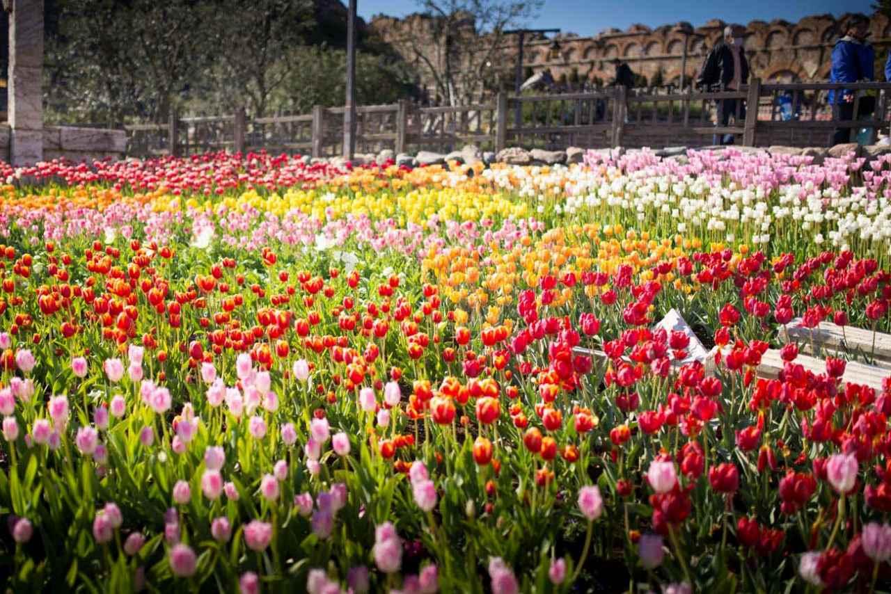 tulip_2015_2