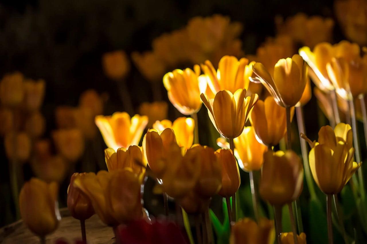 tulip_2015_3