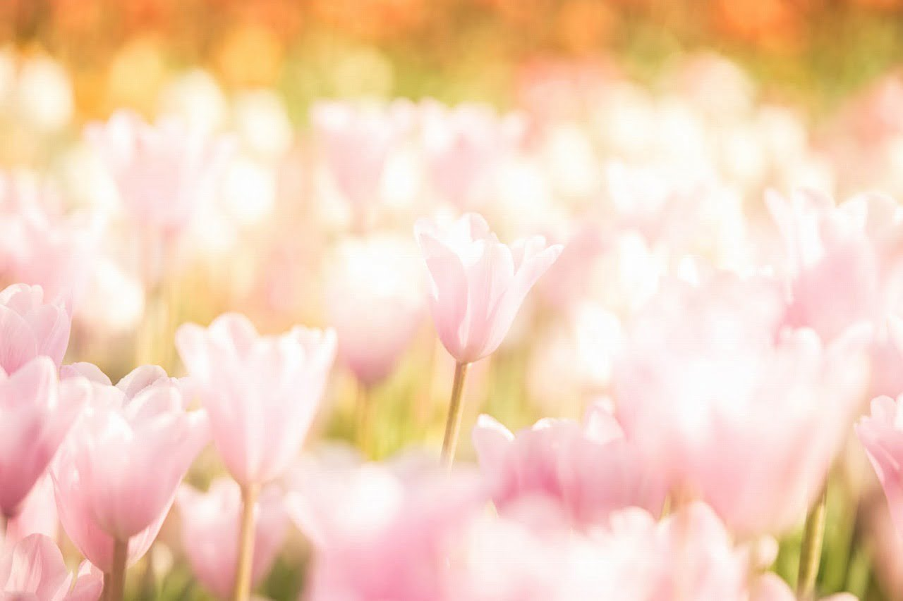 tulip_2015_6
