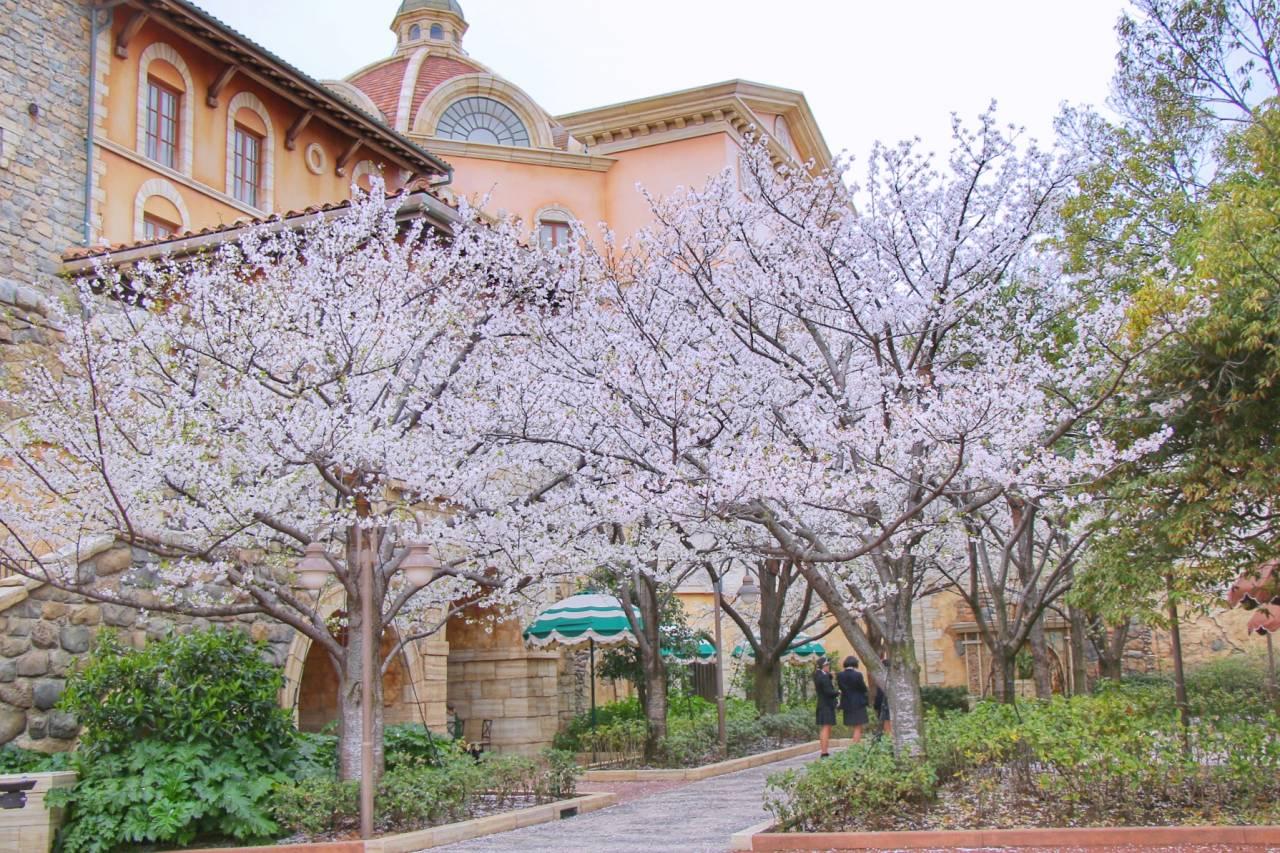 パーク内に咲いている満開の桜